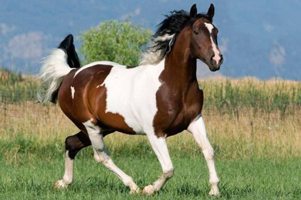Is Paint A Breed Or Color Of Horse