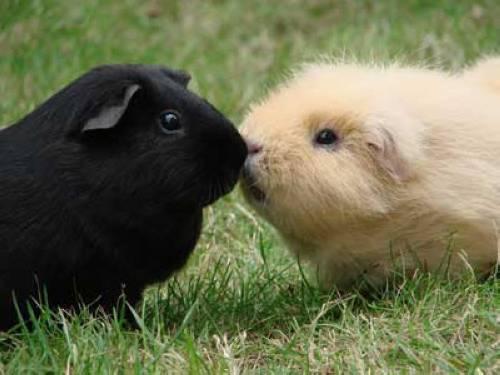 wissen ber haustiere kann ich meine meerschweinchen im sommer in den garten lassen. Black Bedroom Furniture Sets. Home Design Ideas