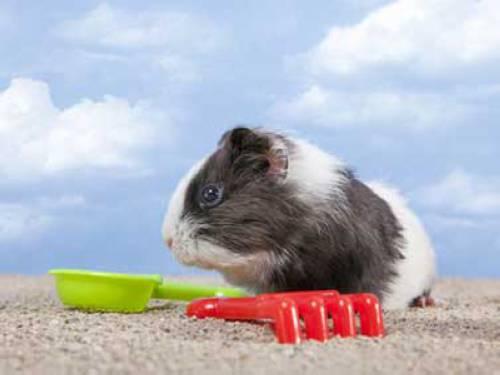 Abkühlung wissen über haustiere kann meerschweinchen zur abkühlung im