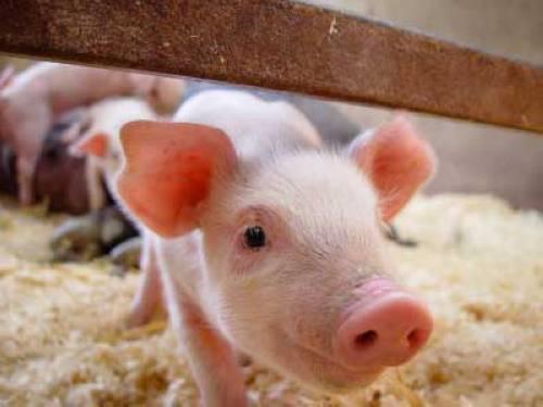 Wissen über Haustiere Kann Man Ein Minischwein In Der Wohnung