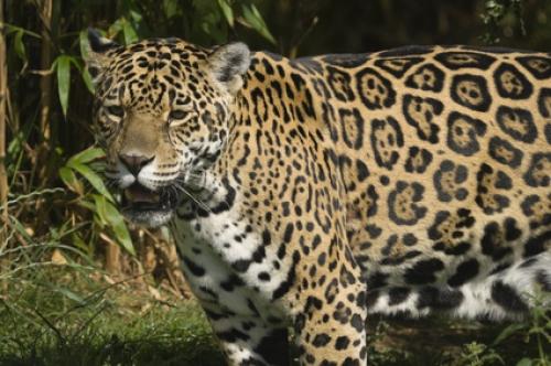 wissen über haustiere jaguar