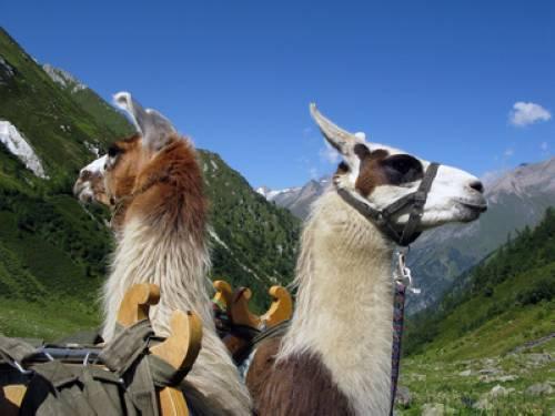 wissen über haustiere lama
