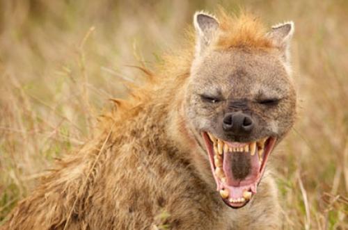 Angry Animals Google Search: Warum Lachen Hyänen?