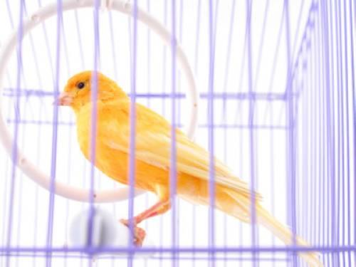 Wissen über Haustiere - Die beliebtesten Haustiere: Meine Kanarienvögel
