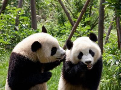 wusstest du dass es einen kindergarten f r pandas gibt. Black Bedroom Furniture Sets. Home Design Ideas