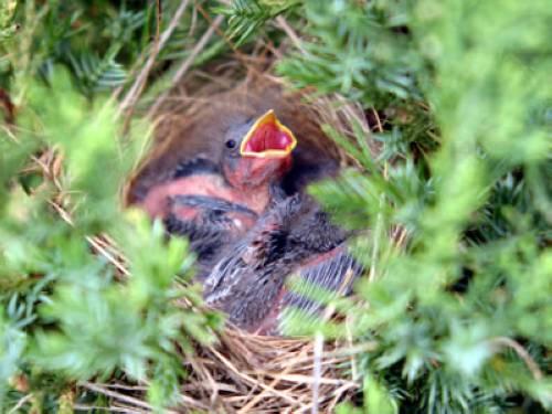 wissen ber haustiere singvogel aus nest gefallen was tun. Black Bedroom Furniture Sets. Home Design Ideas