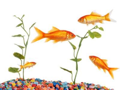 Wissen über Haustiere: Wie alt werden Fische?