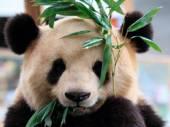 Bedrohte Tierarten - Rote Liste: Der Riesenpanda