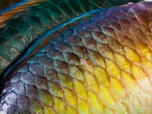 Warum Haben Fische Schuppen