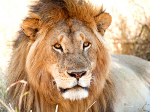 Wissen tiere warum ist der löwe der könig der tiere