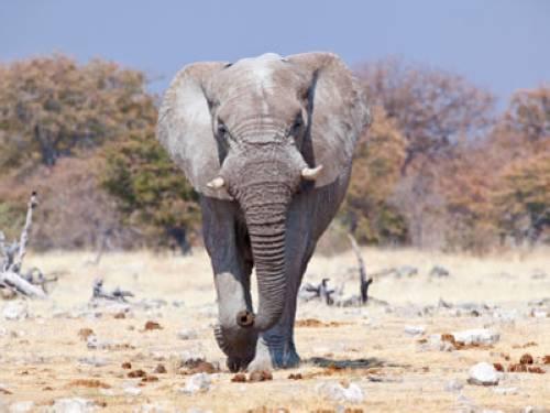 warum haben afrikanische elefanten gr ere ohren als asiatische elefanten