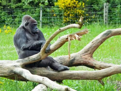 wusstest du dass gorillas immer seltener werden. Black Bedroom Furniture Sets. Home Design Ideas