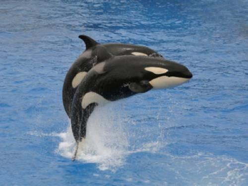 warum hei en orcas auch schwertwale. Black Bedroom Furniture Sets. Home Design Ideas