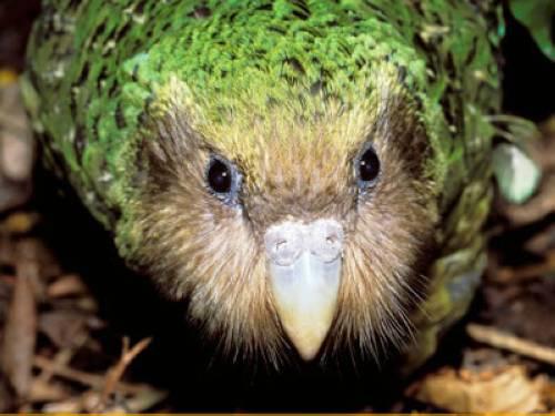 wusstest du dass es weltweit nur 92 kakapos gibt. Black Bedroom Furniture Sets. Home Design Ideas