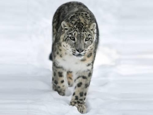 Warum haben Schneeleoparden keine kalten Füße?
