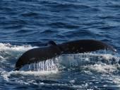 Bedrohte Tierarten - Rote Liste: Der Blauwal