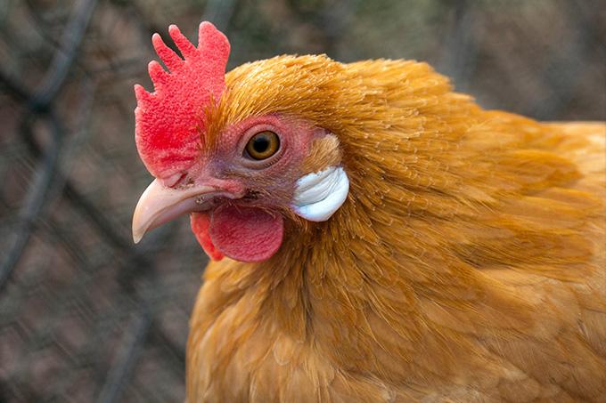 Ohrläppchen Huhn